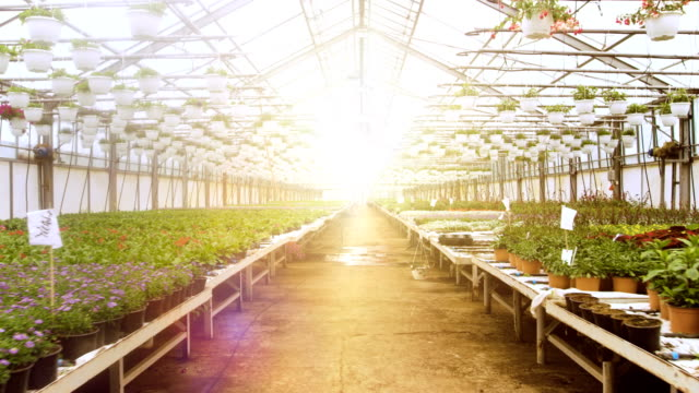 In the Sunny Industrial Greenhouse Camera Moves Through the Rows of Beautiful Flowers and Plants. Large Scale Growing Production.