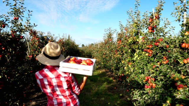 in the sun's rays, female farmer in plaid shirt and hat walks between the rows of apple trees. she holds box with fresh juicy, selective apples. back view. red apple harvest in the garden, on the farm