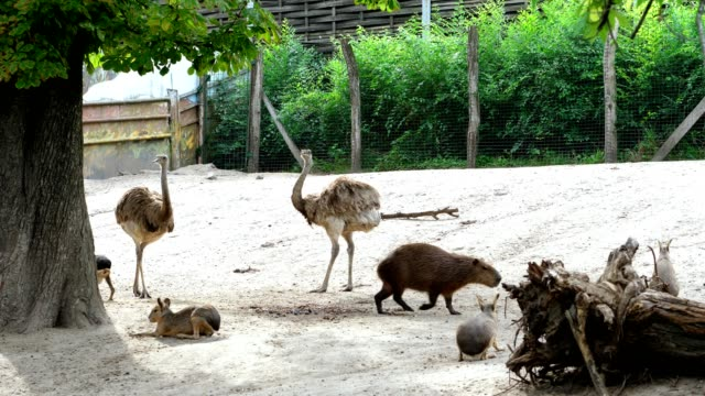 BUDAPEST, HUNGARY - JULY 5, 2018: in the zoo, animals walk together, such as ostriches, large sea swine Capibara, rabbits, small Kunguras BUDAPEST, HUNGARY - JULY 5, 2018: in the zoo animals walk together, such as ostriches, large sea swine Capibara, rabbits, small Kunguras hungary stock videos & royalty-free footage