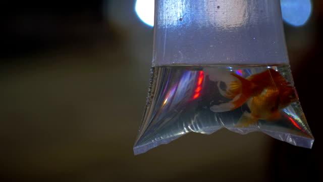 goldfische schwimmen im transparenten beutel mit wasser - ichthyologie stock-videos und b-roll-filmmaterial