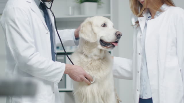 In Veterinary Clinic. Vet and His Assistant Examine the Dog with Stethoscope. In Slow Motion. video