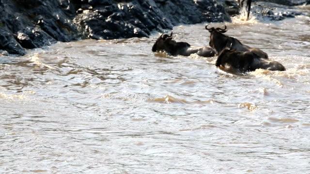incredible fighting for survival - Great Wildebeest Migration in Kenya video