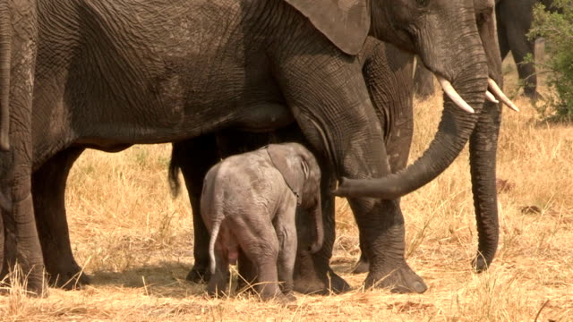 Incredible footage of newly born baby elephant attempting to suckle from mother,Botwana video