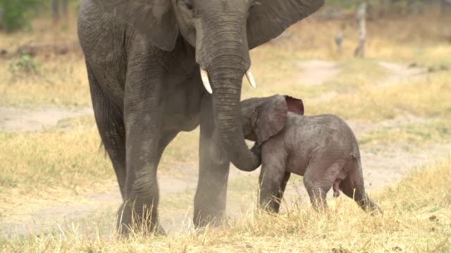 incredible footage of newly born baby elephant,botswana - djurfamilj bildbanksvideor och videomaterial från bakom kulisserna