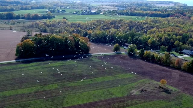 Incredible view of Seagulls swirling in farmers field video