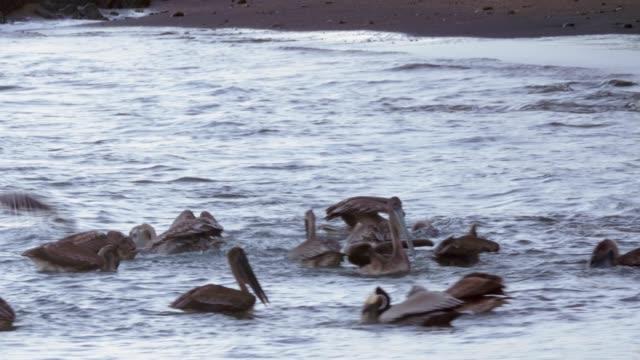 4K Incredible wildlife footage of Pelicans feeding off a beach in Costa Rica.