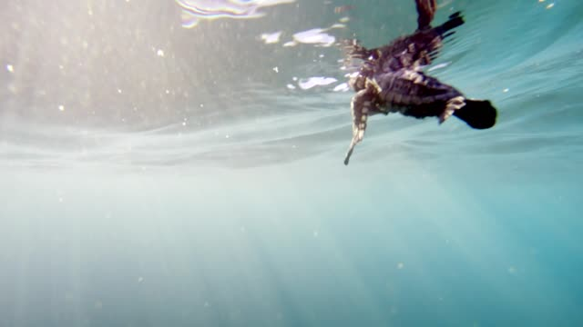 Incredibly rare footage of a baby sea turtle after entering ocean for the first time. Incredibly rare footage of a baby sea turtle after entering ocean for the first time. 4K footage. turtle stock videos & royalty-free footage