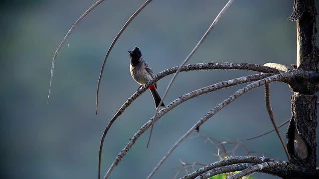 indian birds on a tree on a summer morning - park narodowy kanha filmów i materiałów b-roll
