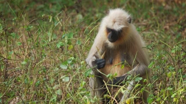 印度常見格雷蘭古爾或哈努曼蘭古爾猴子吃蘭坦博雷國家公園, 拉賈斯坦邦, 印度 - {{asset.href}} 個影片檔及 b 捲影像