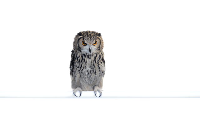 Indian Eagle Owl perched and looking around video