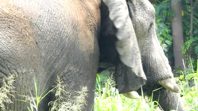 Indian elephant video