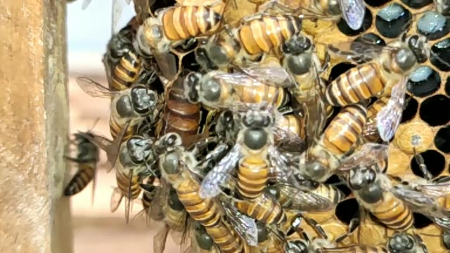 indian honey bees on honeycomb, queen bee in the middle, bee hive, slow motion, hd format. - ape regina video stock e b–roll