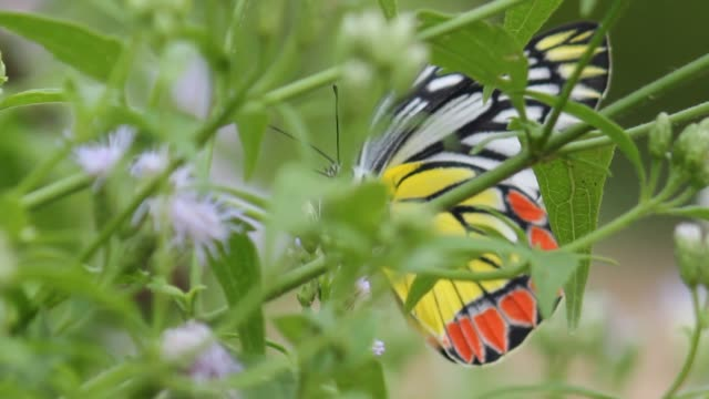 Indian Jezebel Butterfly A short video clip on an Indian Jezebel butterfly hovering around the flower plants animal markings stock videos & royalty-free footage