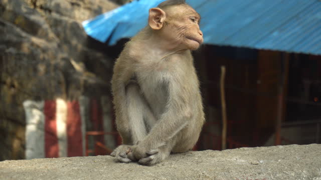 Indian macaque sitting on a rock