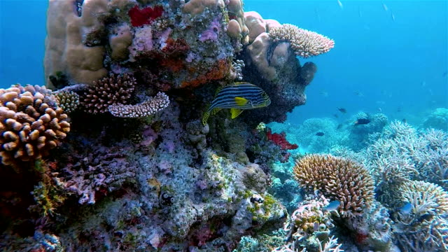 indian ocean oriental sweetlips on colorful coral reef - rev naturföreteelse bildbanksvideor och videomaterial från bakom kulisserna