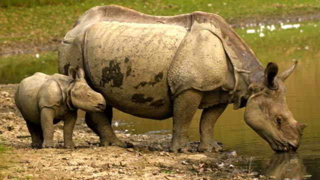 Indian One Horned Rhino (Rhinoceros unicornis) und Kalbswasser aus dem Fluss – Video