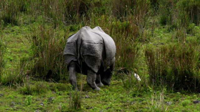 Indian One Horned Rhino (Rhinoceros unicornis) grazing in the grassland