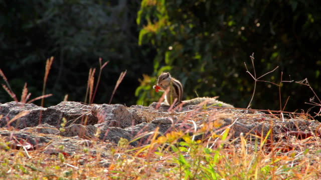 Indian palm squirrel video