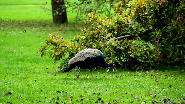 Indian peacock grazing in natural environment, eats insects. Beautiful shot of Europe, culture and landscapes. Traveling sightseeing, tourist views landmarks of Czech Republic. World travel, west European trip cityscape, outdoor shot video