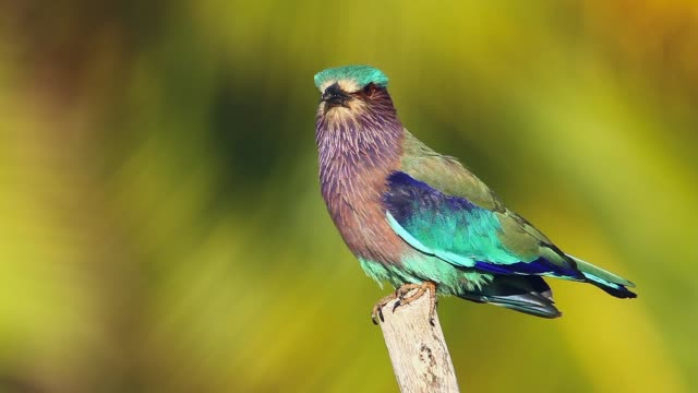 Indian roller in Sri Lanka