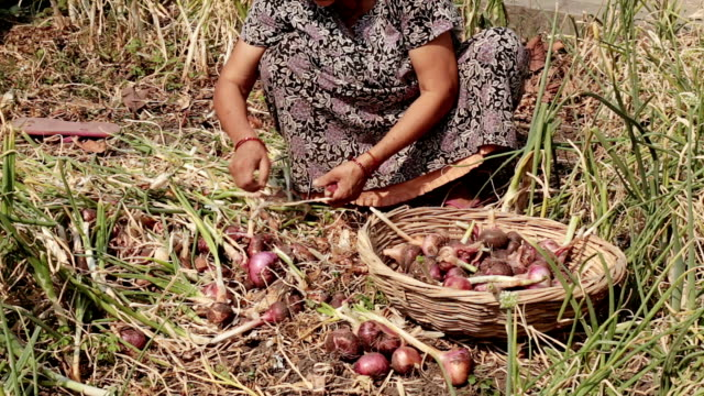 Indian Rural village women working topping and tailing harvested red onions by hand. video