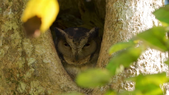Indian Scops Owl, Perched in a nesting hole (Sri Lanka)