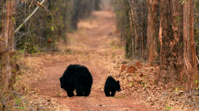 Indian Sloth Bear mother and cub foraging in Indian Forest
