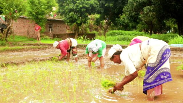 indian woman farmer planting rice seedlings in the rice paddy field. - pole ryżowe filmów i materiałów b-roll