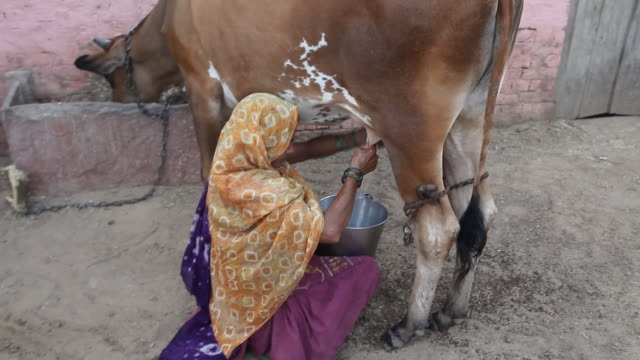 Indian woman milking cow in a Village video