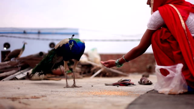 stockvideo's en b-roll-footage met indiase vrouwen geven voedsel aan peacock thuis - snavel