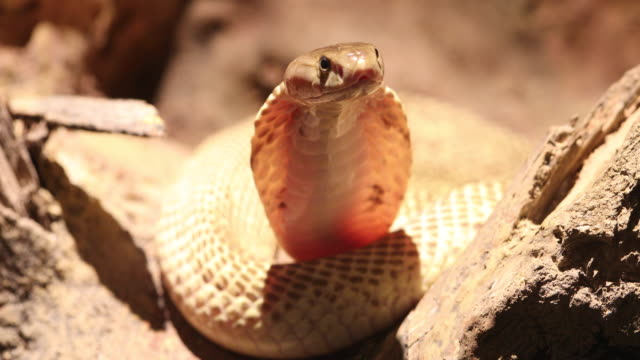 Indochinese spitting cobra spreading the hood. video
