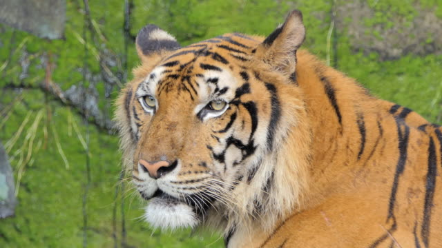 Indochinese tiger in topical rain forest. video