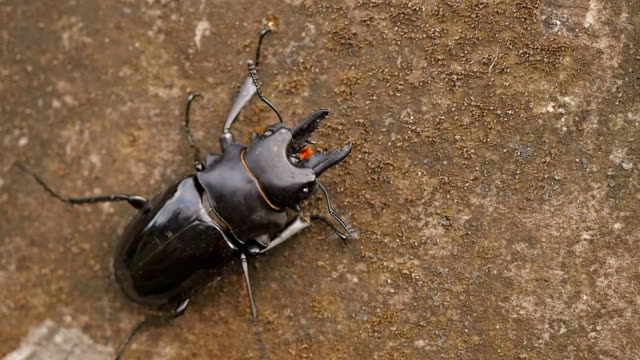 Indonesian stag beetle close-up video