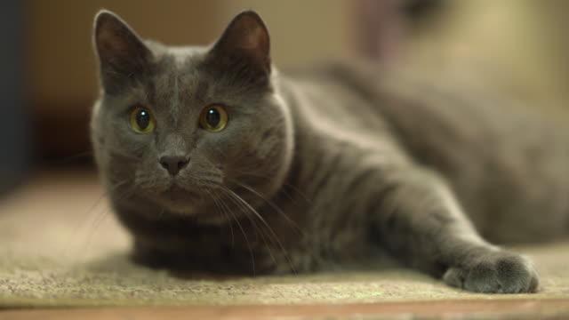 vídeos de stock, filmes e b-roll de gato cinzento interno com os olhos largamente perseguição aberta durante o jogo no quarto. - felino