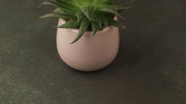 Indoor houseplant succulent