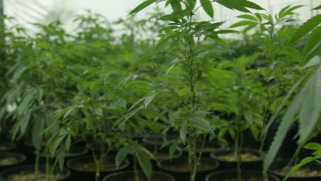 Indoor Marijuana Grow House 3 Shot on Red Helium thc stock videos & royalty-free footage