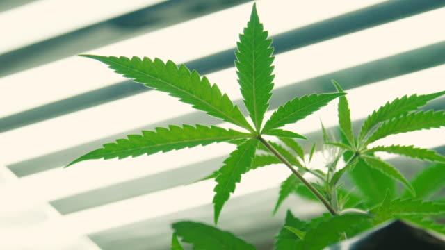 inomhus marijuana växt som växer under ljus 6 - hasch bildbanksvideor och videomaterial från bakom kulisserna