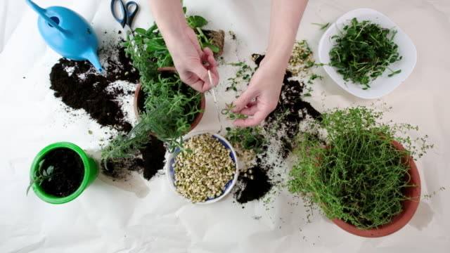 Indoor microgreens and garden room concept Home gardening with watering can, scissors, sprouted seeds and hands in frame. Indoor microgreens and garden room concept. Green spices rosemary and oregano plant on table in winter and autumn season. homegrown produce stock videos & royalty-free footage
