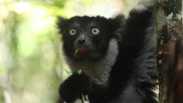 indri lemur (indri indri - primat bildbanksvideor och videomaterial från bakom kulisserna