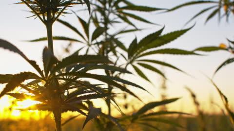 vídeos de stock e filmes b-roll de slo mo industrial canábis plantas no amanhecer - erva