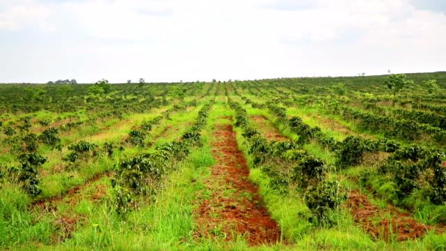 Industrial coffee tree plantation, farm, garden, Laos video