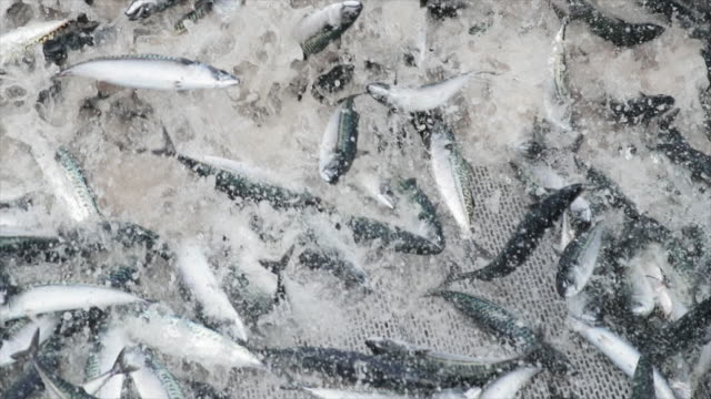 industrial fishing boat: huge catch of fish - łowić ryby filmów i materiałów b-roll