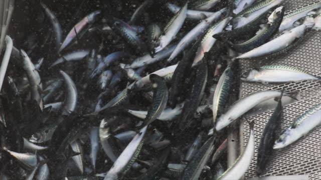 industriellt fiskebåt: enorm fångst av fisk - fiskebåt bildbanksvideor och videomaterial från bakom kulisserna
