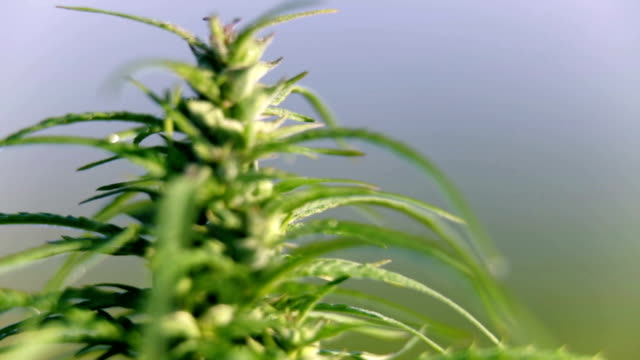 HD: Industrial hemp focus shot from right to left HD1920x1080: High quality produced HD Stock Footage Clip of Industrial cannabis field and single hemp plants shots  from different angles while shaking in the wind on a sunny day near the roadside. hashish stock videos & royalty-free footage
