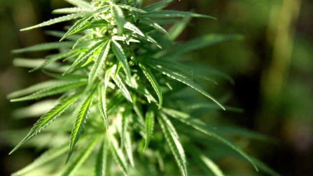 HD: Industrial hemp with leafs HD1920x1080: High quality produced HD Stock Footage Clip of Industrial cannabis field and single hemp plants shots  from different angles while shaking in the wind on a sunny day near the roadside. hashish stock videos & royalty-free footage