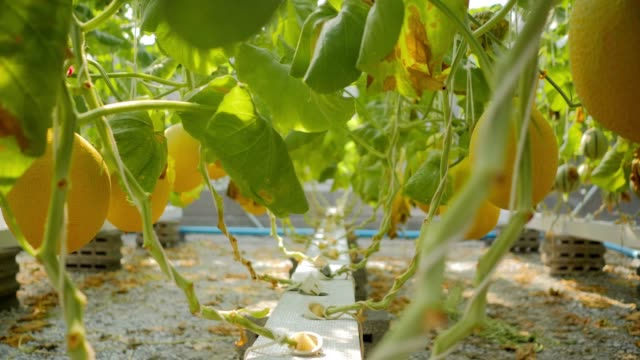 産業 4.0: 水耕栽培、オーガニックの新鮮な収穫野菜、農家を探しています。有機栽培メロン野菜畑で働く農家。メロンネット、近代的な水耕栽培によって支えられた温室で育つメロン - 支えられた点の映像素材/bロール