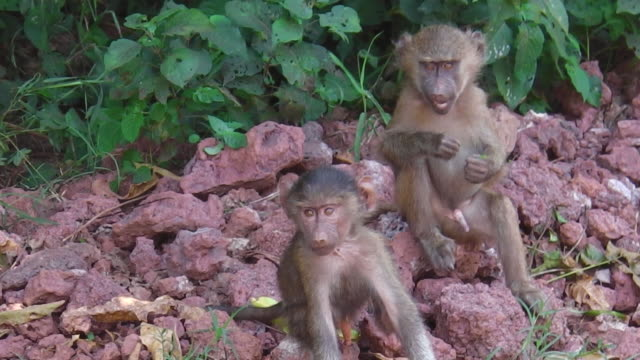 infant baboons playing
