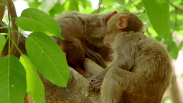 infant_monkey_in_tree_wakes_up - reso video stock e b–roll