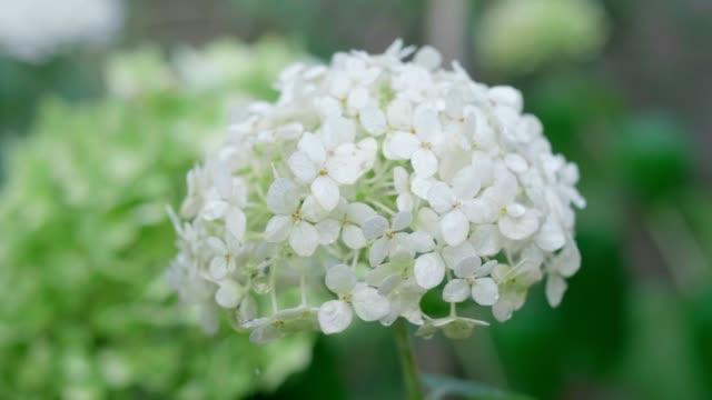 blütenstand der weißen hortensie aus nächster nähe. zeitlupe. - hortensie stock-videos und b-roll-filmmaterial