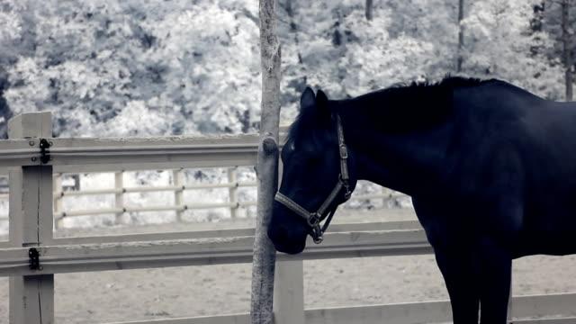 infrared fauna: horse aufenthalte noch zu mittag in der paddock 2 - hengst stock-videos und b-roll-filmmaterial
